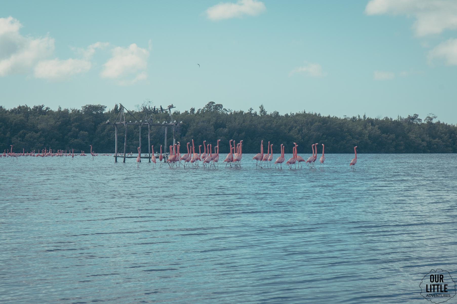 flamingi na lagunie guanaroca - południowa kuba