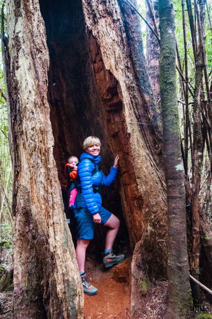 wielkie pnie drzew w Parku Narodowym Huerquehue