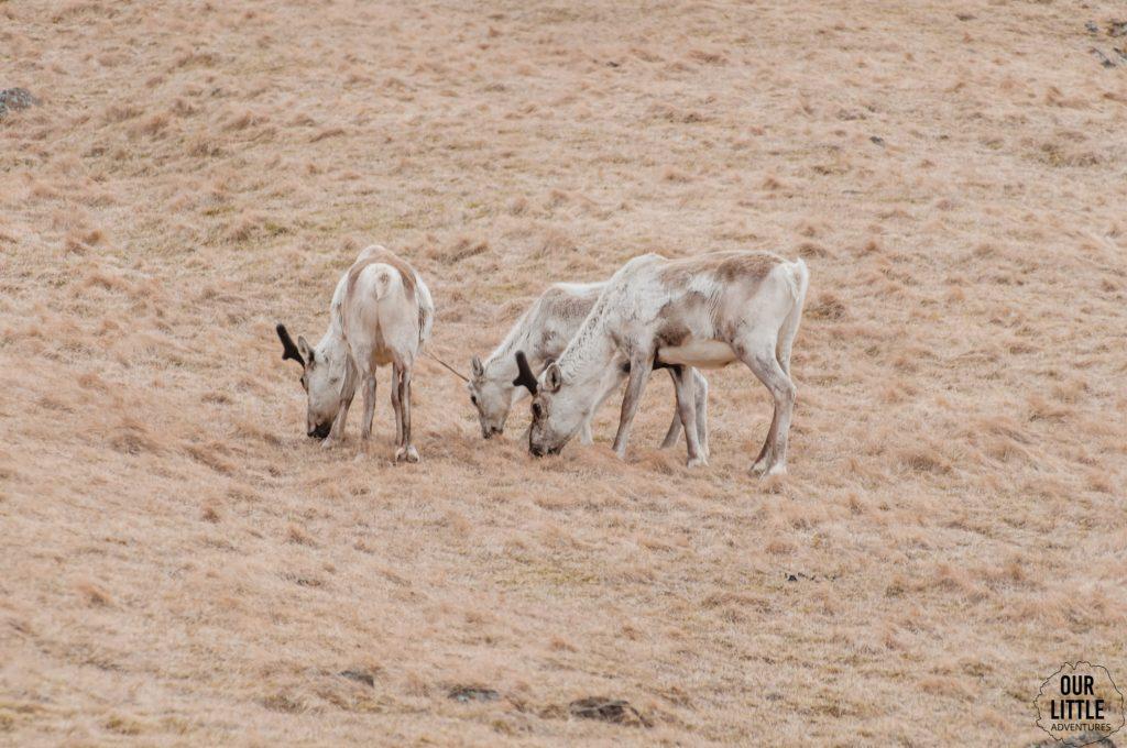 renifery spotkane na fiordach wschodnich islandii