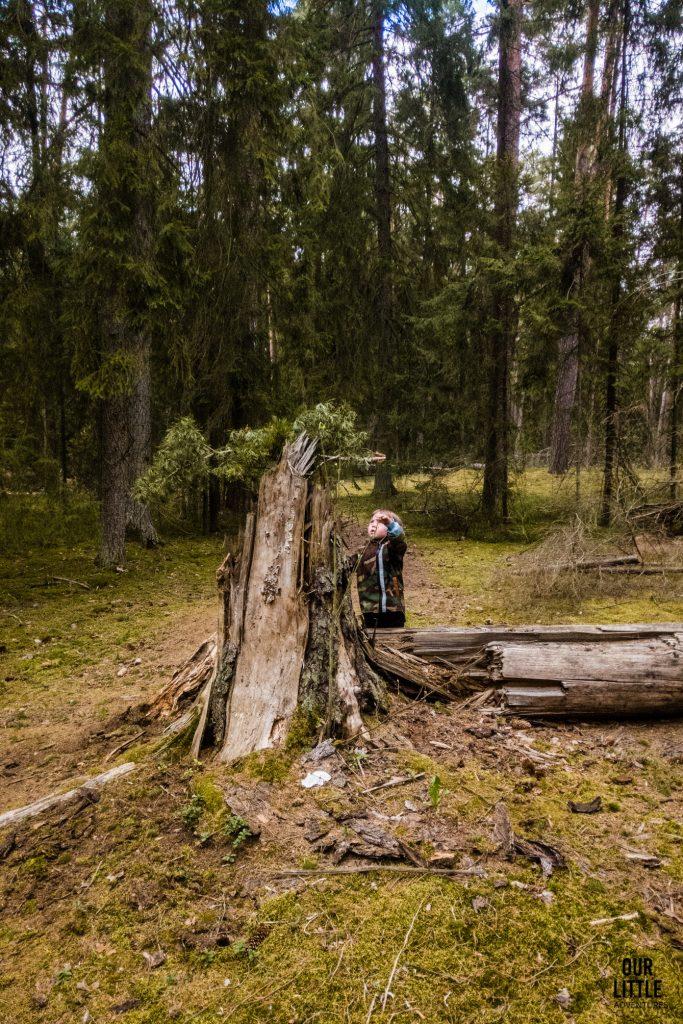 Jasio przy spróchniałym pniu drzewa w Puszczy Zielonej