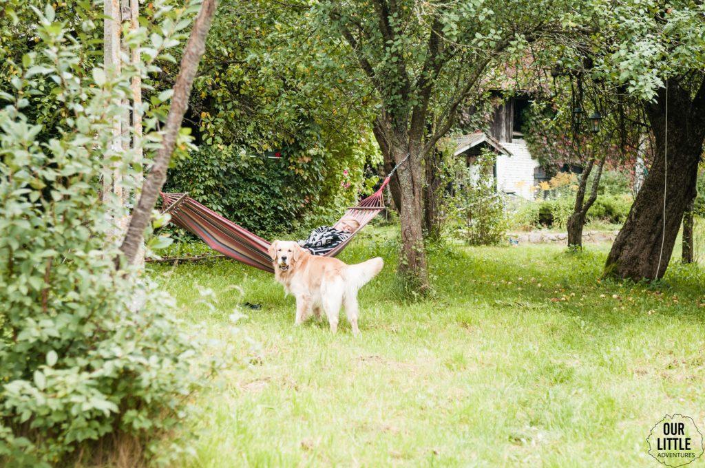 Pies golden retriever w ogrodzie, Co zrobić psem na wakacje?
