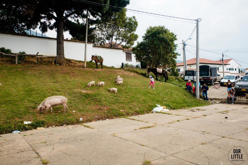 Żywe świnie na targu w Villa de Leyva