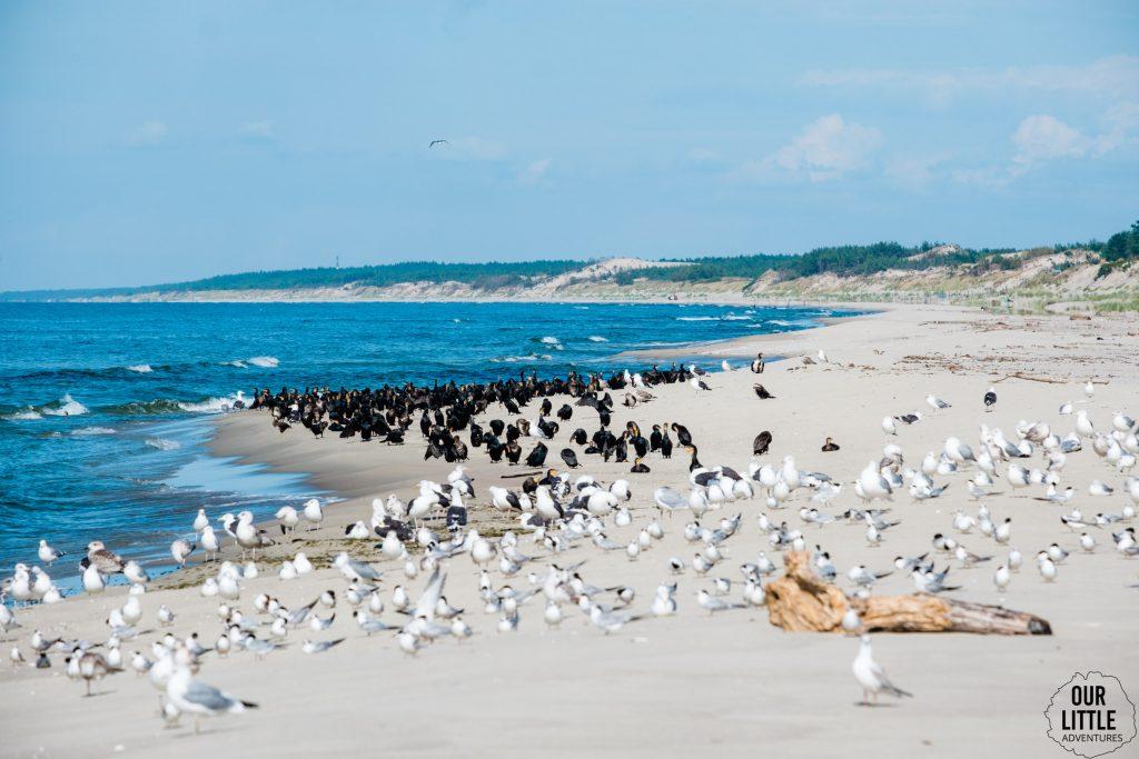 ptaki na plaży w Piaskach przy granicy polsko-rosyjskiej na mierzei wiślanej