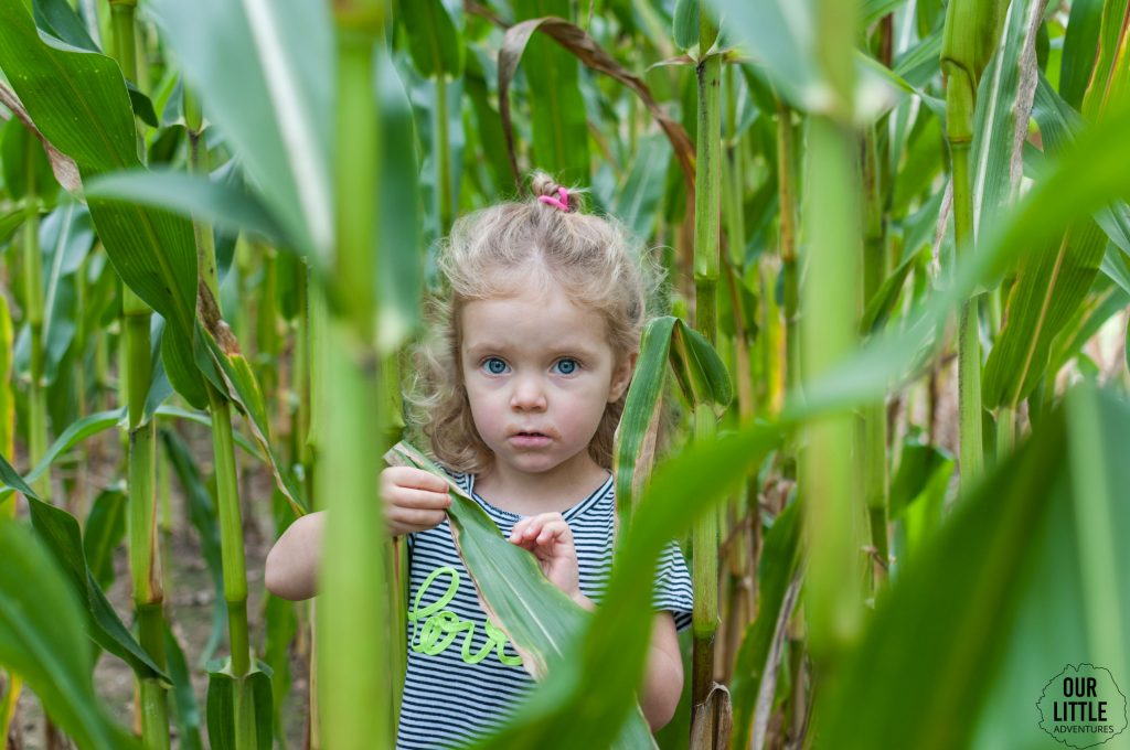 Pole kukurydzy nad Bugiem