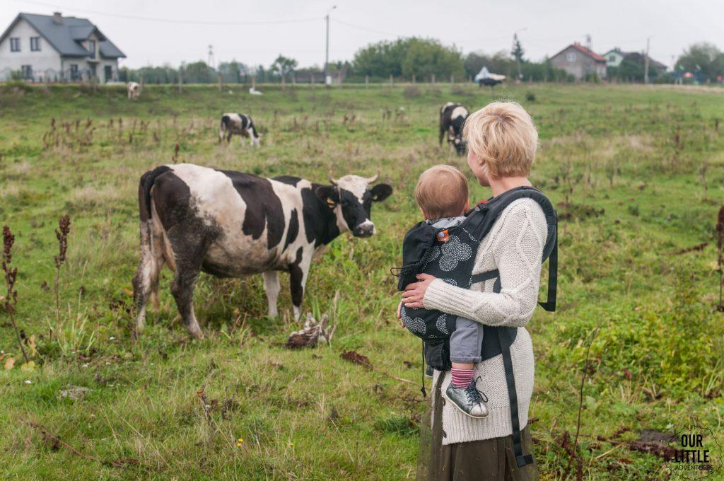 Pasące się krowy na polu przed Domem nad Wierzbami