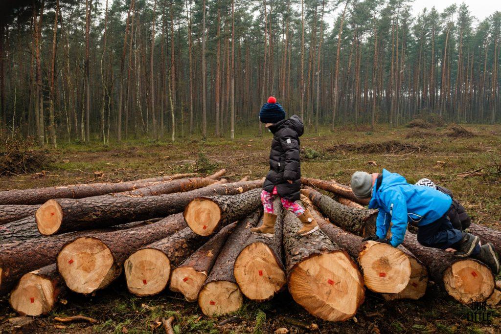 Ścięte Pnie drzew na ścieżce edukacyjnej nad Goździkowym Bagnem