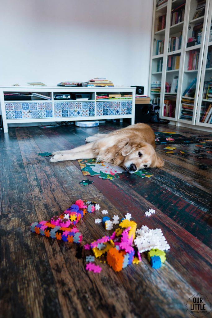 Golden retriver odpoczywa wśród zabawek