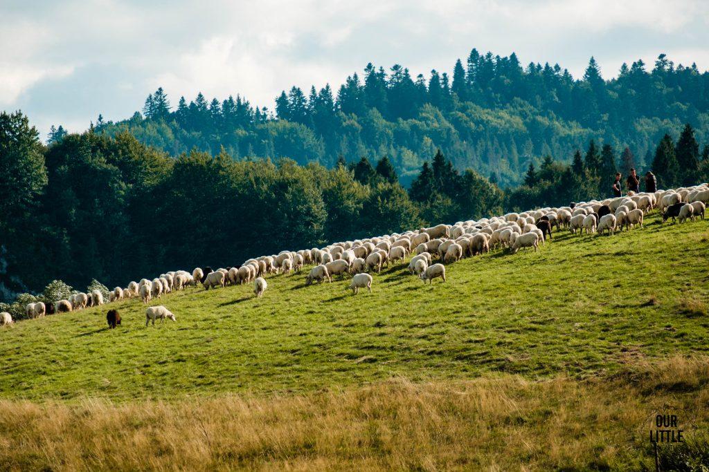 owce na trasie Velo Czorsztyn